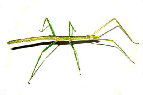 Medauroidea extradentata  - Annam Walking Stick Live Insects - USMantis