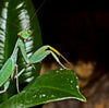 Sphodromantis bacetti L4 Nymphs, Live Insects - USMantis.com