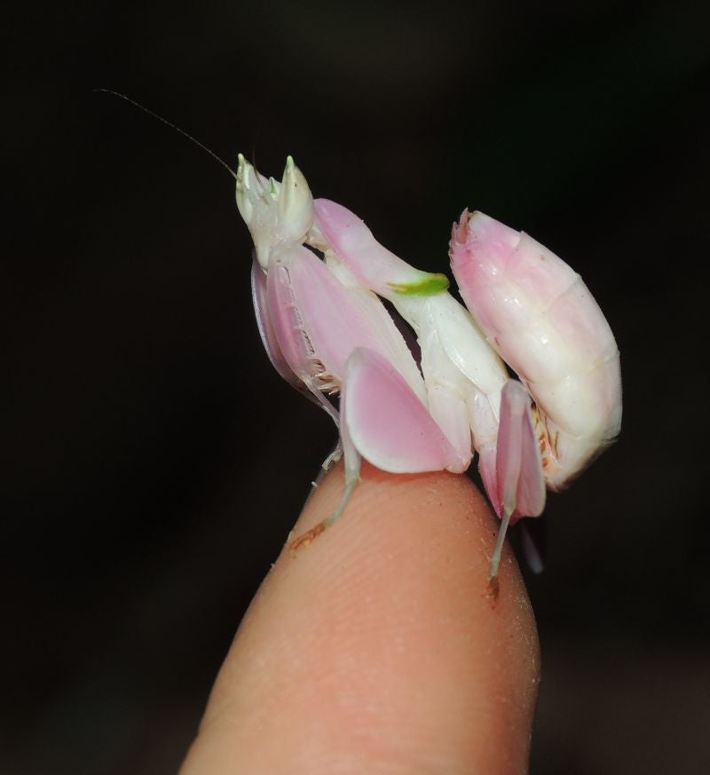 "Hymenopus coronatus - Orchid Flower mantis ""Kung Fu Mantis"", Live Insects - USMantis.com"