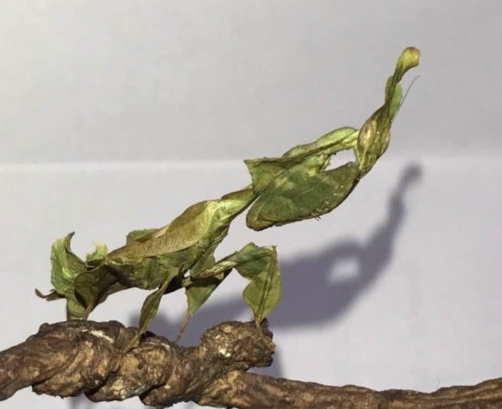 P paradoxa Ghost mantis All colors SALE, Live Insects - USMantis.com