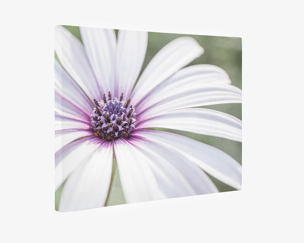 Large White Daisy Flower Picture Floral Wall Art By Offley Green