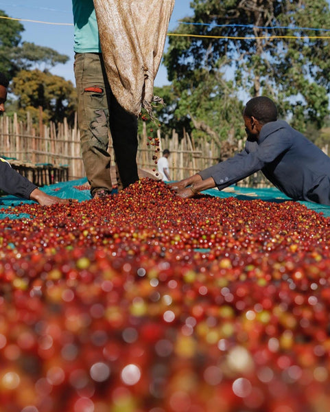 Drop Coffee Roasters: Visiting farmers in Ethiopia
