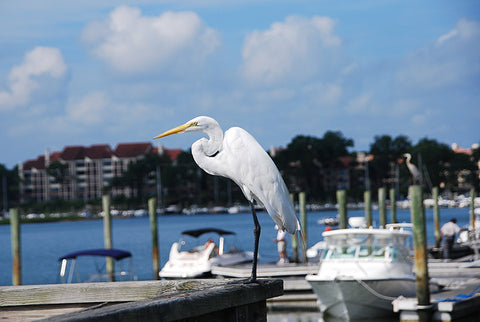 Boat-Dock-at-Hilton-Head-with-Great-Egret