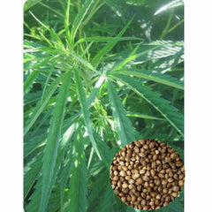 Hemp Plant High Germination Rate Garden Seeds
