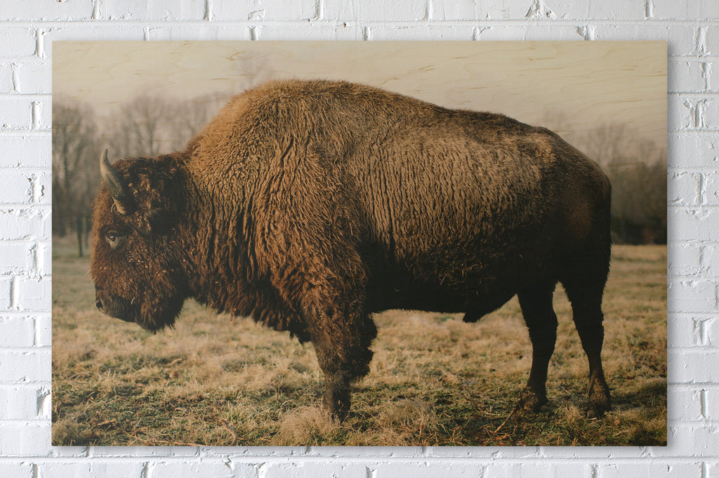 Virginia Bison Buffalo on Maplewood