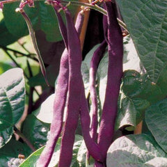 Seed Savers Exchange Bean, Purple Podded Pole