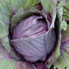 Seed Savers Exchange Cabbage, Red Kalibos