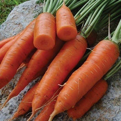 Seed Savers Exchange Carrot, Red Cored Chantenay