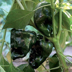 Seed Savers Exchange Pepper, Ancho Gigantea