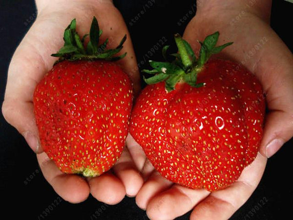 Giant Strawberry Seeds, Rare, Organic Non-GMO 300/bag - Nvr2Lte2Shop.com
