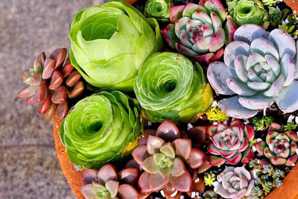 Beautiful Purple Succulents Seeds - Phonebibi