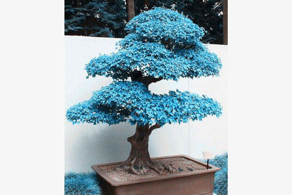 Sea Blue Maple Tree (20 Seeds)