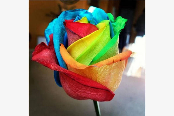 Rare Rainbow Rose Seeds