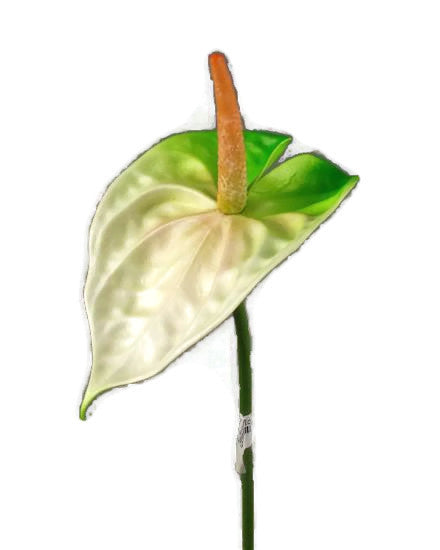 Anthurium / GL12327_White & Green