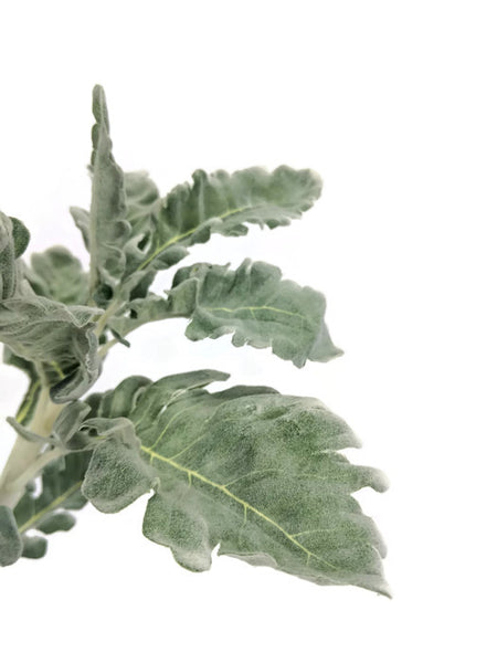 Dusty Miller Spray EE0012
