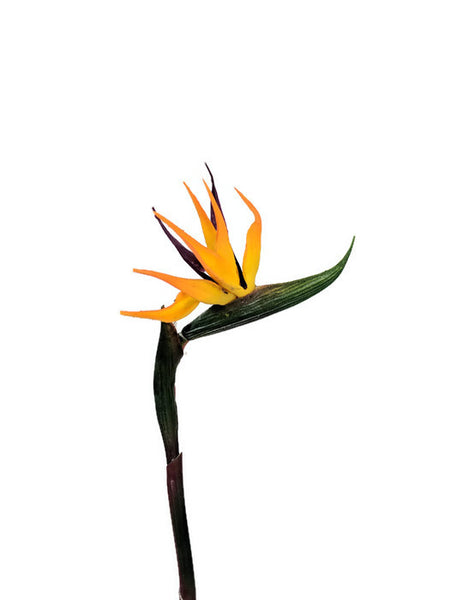Real Touch  Small Strelitzia Bird of Paradise HF3480S-OR