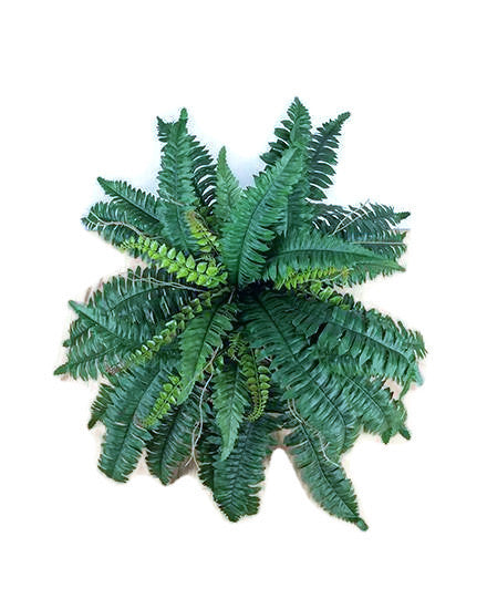 Boston Fern S2672