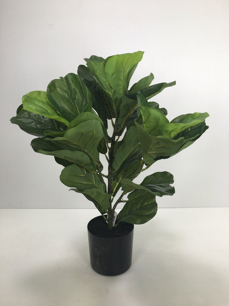 Fiddle Leaf in Pot S2708