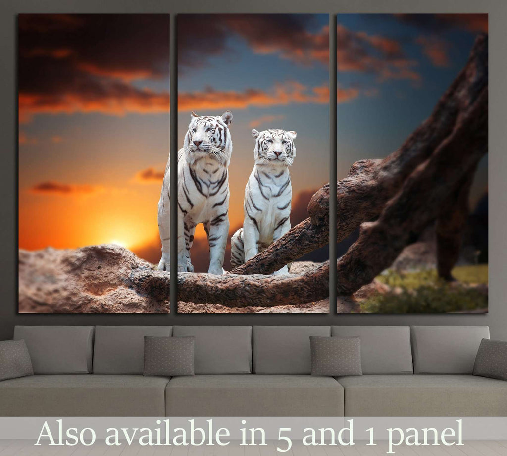 two white tiger sitting on a rock and watching the sunset №2362 Ready to Hang Canvas Print