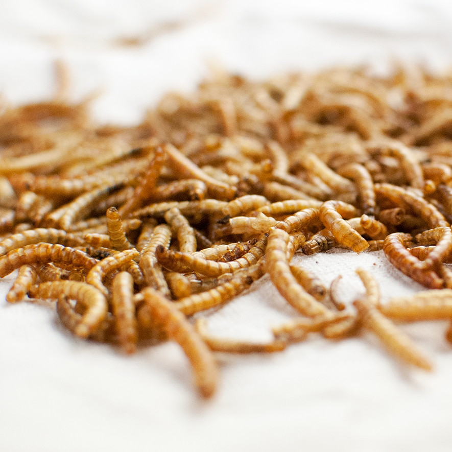 Mealworm Frenzy Candy Cane®