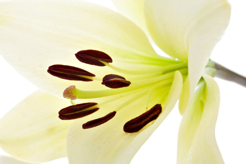 The Power of Plant Stem Cells - Lilium Candidum Leaf Cell Extract