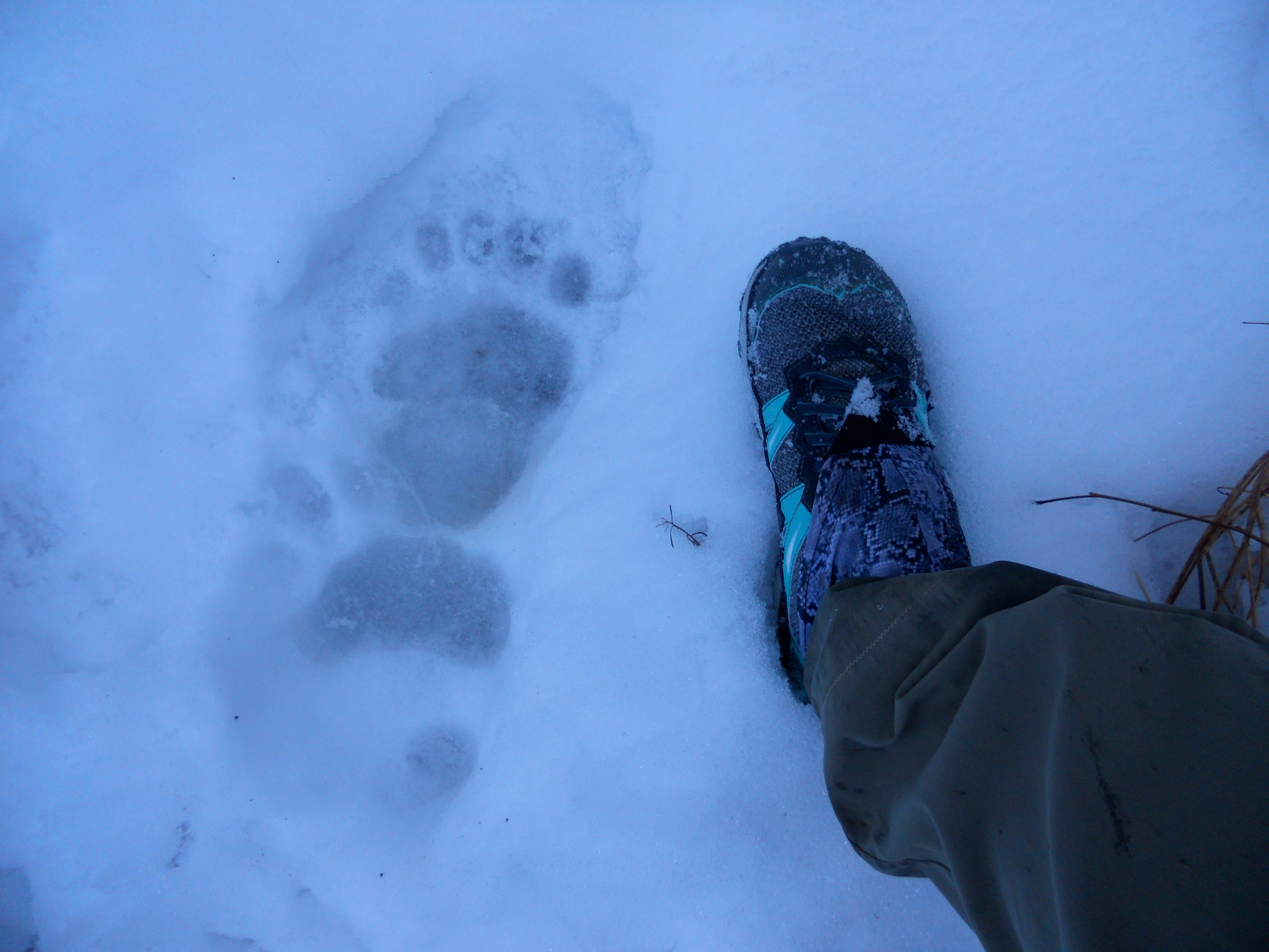 bear print in snow