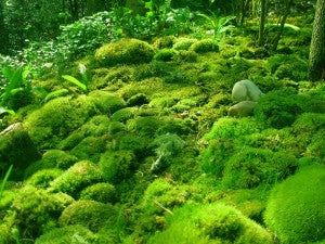 What Is Moss Mountainmoss
