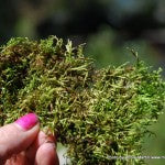 Moss Milkshake Magical Mix Or Urban Myth Mountainmoss
