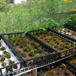 Mountain Moss-Moss Cultivation Research-Trays