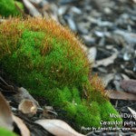 MountainMoss_Day6_Ceratodon_purpureus