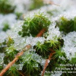 MountainMoss_Moss4Day11_PolytrichumSnow_WEB