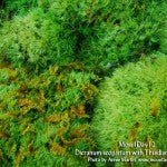 MountainMoss_Moss4Day12_Dicranum_scoparium_WEB