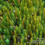 MountainMoss_Moss4Day1_Polytrichum_WEB