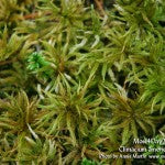 MountainMoss_Moss4Day2_Climacium_americanum_WEB