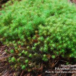 MountainMoss_Moss4Day41_PolytrichumColony_WEB