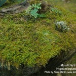 MountainMoss_Moss4Day9_Hypnum_imponens_WEB
