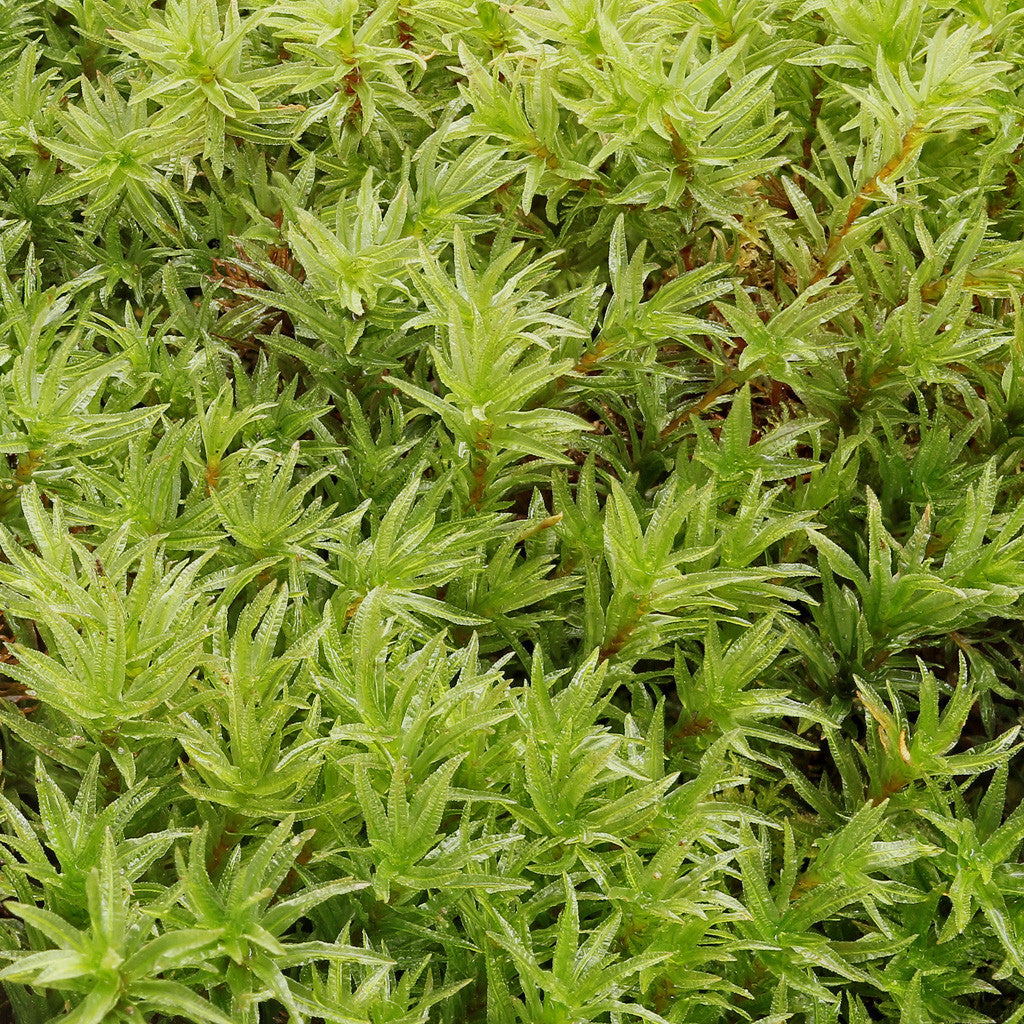 Atrichum undulatum Tray -- Shade/Partial Sun -- Currently Out of Stock -- Check Back Later