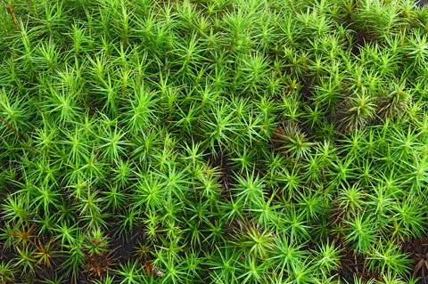 Polytrichum commune Tray -- Shade or Sun