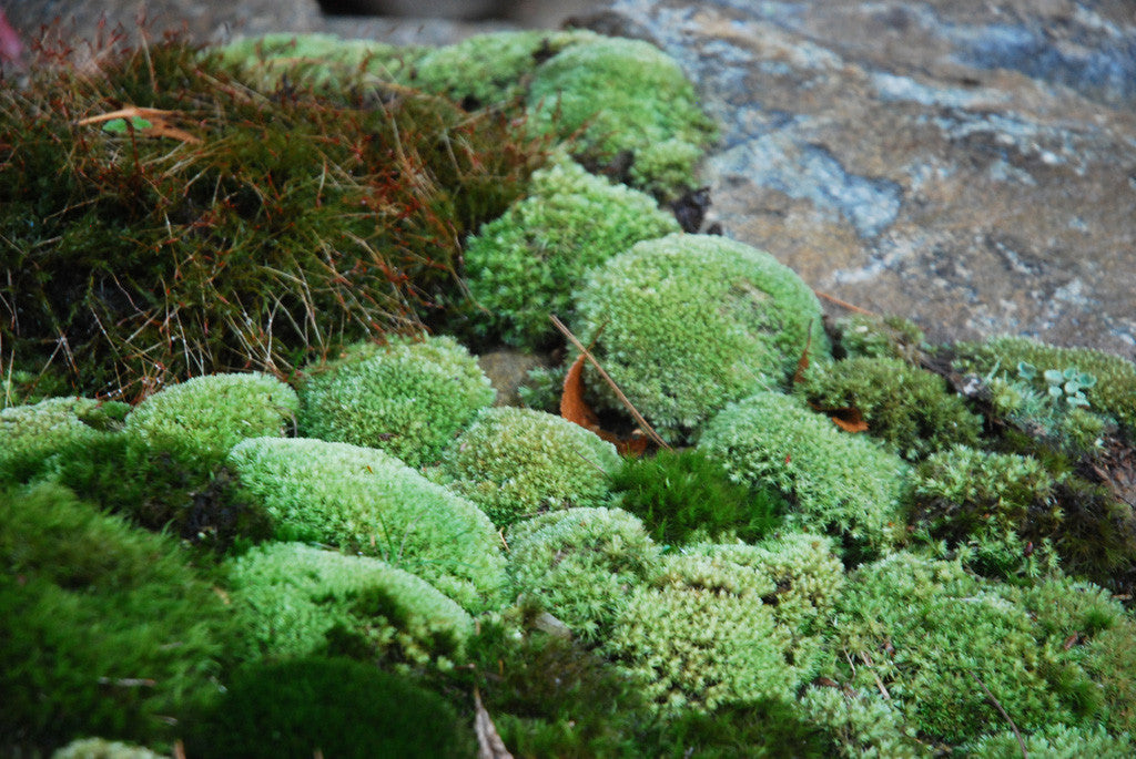 Leucobryum glaucum Tray -- Shade or Sun -- Limited Availability