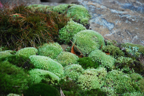 Leucobryum Tray -- Shade or Sun -- SPOROPHYTES happening now!