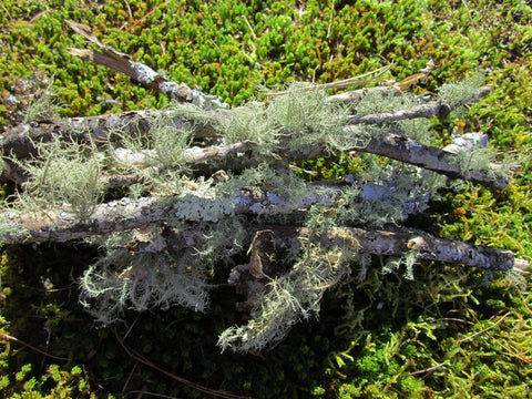 Bundle of Lichen Branches