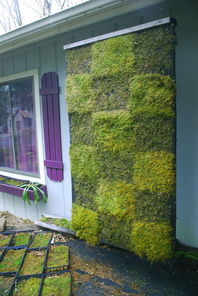 Entodon Seductrix Living Moss Wall Panel Shade Or Sun