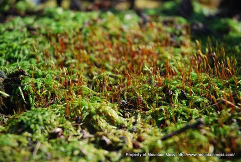 Entodon Living Moss Wall Panel