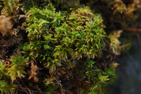 Sphagnum palustre Tray -- Shade or Sun