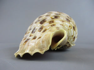 Triton's Trumpet Sea Shell Vintage 20th Century.