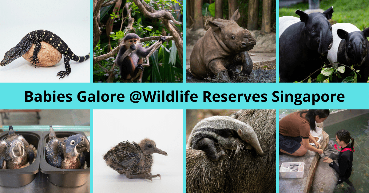 Get up close with over 660 cute baby animals at Wildlife Reserves Singapore!