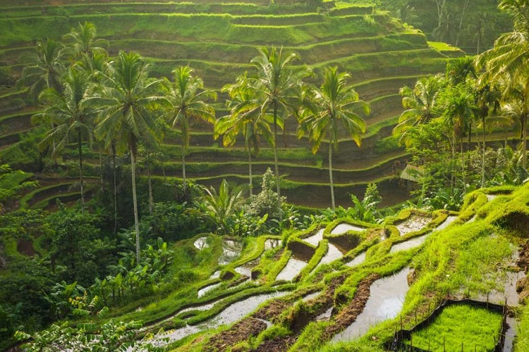 6 Short Family-Friendly Getaways from Singapore - Bali rice paddy