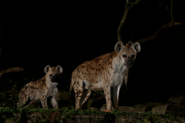 Spotted Hyena Feeding