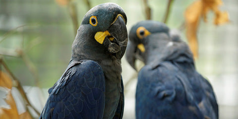 Things to do this Weekend: Blue-Zilian Carnival - Blue Macaws Chit-Chat