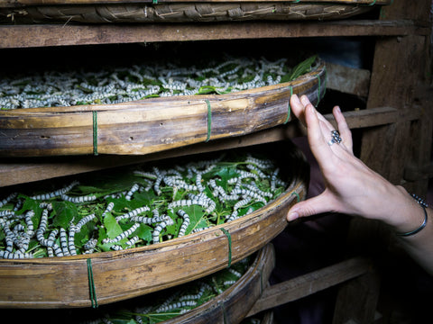 The worms are placed on a bamboo tray, fed mulberry leaves three times a day and monitored at all times.